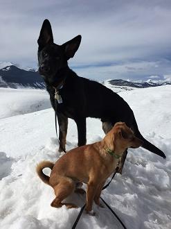 Die Hunde der Autorin in Crested Butte: der deutsche Schäferhund Blue (8 Monate) und Pico DeGuy, den die Familie mit gebrochenem Bein am Straßenrand fand © privat