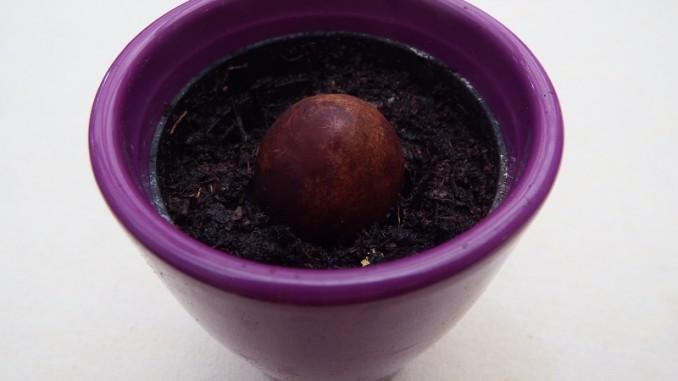 Avocado 1 - Avocadokern eingepflanzt